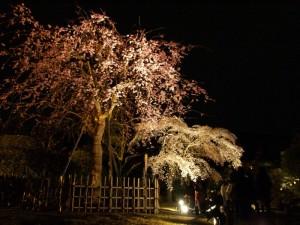 知恩院のしだれ桜