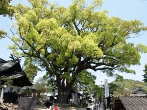 艮(うしとら)神社の楠