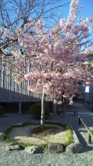 東寺の河津桜