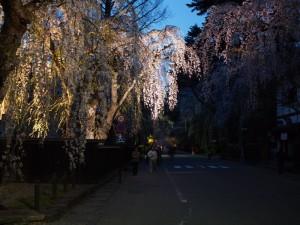 角館の桜(2)