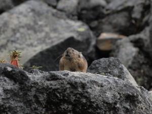 十勝岳のナキウサギ