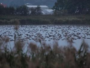 宮島沼のマガン