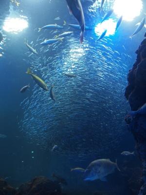 京都水族館のイワシ